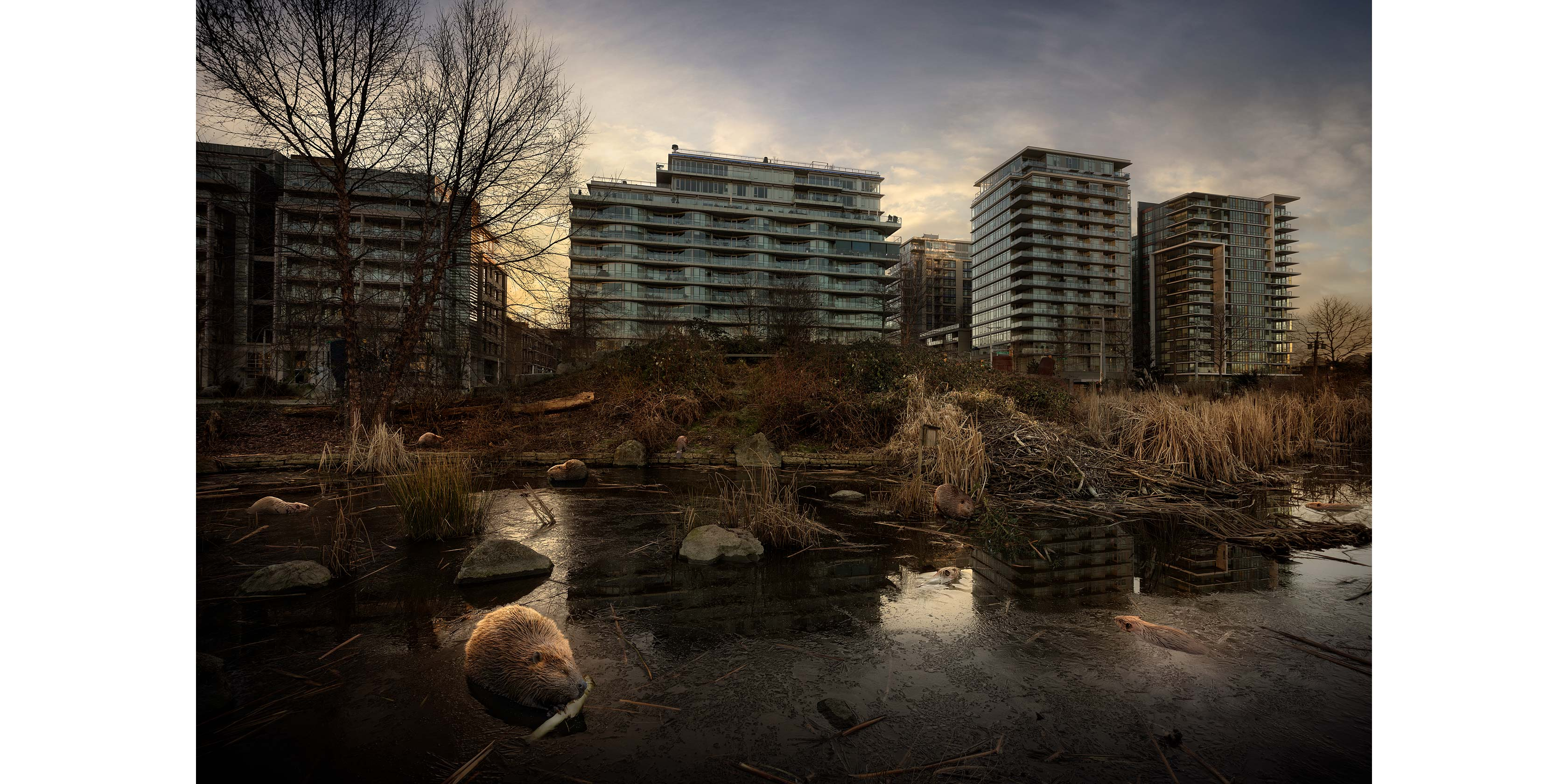 <p align=center><em>Olympic Village Beavers</em> <br />40″ x 60″, archival pigment print on aluminum, edition of 5<br /> 30″ x 45″, archival pigment print on aluminum, edition of 7</p>
